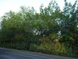 Weiße Maulbeere (Morus alba) und Schwarze Maulbeeren (Morus nigra)